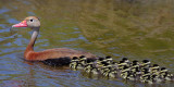 Black-bellied Whistling Duck and 17 Ducklings