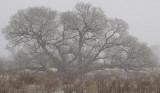 Snowy Oak