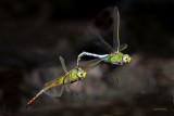 Green Darners Mating While Flying Around