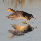 Pied-billed Grebe Running across Water