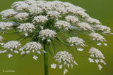 queen anne's lace IMG_8943fwc.jpg