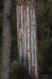 Artificial Sap Lines Used to Attract Red-Cockaded Woodpeckers to the Artificial Nest Cavity