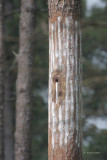 Artificial Nest Cavity, and Sap Lines