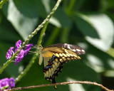 _MG_4812_GiantSwallowtail.jpg