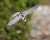 Whiskered Tern   Scientific name: Chlidonias hybridus   Habitat: Bays, tidal flats to ricefields.   [COASTAL LAGOON, MANILA BAY, 1DM2 + 400 5.6L, hand held]