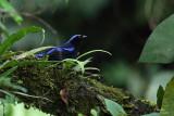 Philippine Fairy-Bluebird  (a Philippine endemic)   Scientific name - Irena cyanogaster cyanogaster   Habitat - forest canopy, below 1500 m.   [SIERRA MADRE, SAN LUIS, AURORA, 5D2+ 500 f4 IS + Canon 1.4x TC, bean bag]