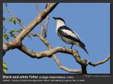 Black-and-White_Triller-IMG_2970.jpg