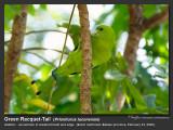 Green Racquet-Tail-IMG_0896.jpg