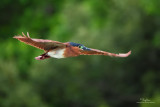 Rufous Night-Heron   Scietific name - Nycticorax caledonicus   Habitat - Marshes, rice paddies, mangroves.   [PINAGBAYANAN, SAN JUAN, BATANGAS, 5DM2 + 500 f4 IS, hand held]