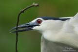 Black-crowned Night-Heron   Scientific name - Nycticorax nycticorax   Habitat - Variety of wetlands from ricefields to mangroves.   [PINAGBAYANAN, SAN JUAN, BATANGAS, 5DM2 + 400 2.8 L IS,475B/3421 support, processed 100% crop]