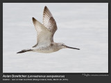 Asian_Dowitcher-IMG_5339