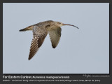 Curlews, Whimbrels and Godwits