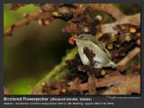 Bicolored_Flowerpecker-IMG_0786.jpg