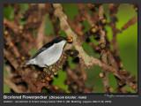 Bicolored_Flowerpecker-IMG_0778.jpg