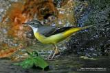 Grey Wagtail (Non-breeding plumage)  Scientific name - Motacilla cinerea   Habitat - Streams and forest roads at all elevations.   [350D + Sigmonster (Sigma 300-800 DG)]