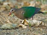 Common Emerald-Dove (male)  Scientific name - Chalcophaps indica  Habitat - Common but shy in forests.  [350D + 100-400 L IS, hand held]