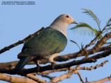 Green Imperial-Pigeon   Scientific name - Ducula aenea aenea   Habitat - Lowland and middle elevation forest.   [20D + Sigmonster (Sigma 300-800 DG) + Sigma 2x TC, 1600 mm, MLU, 40 m distance]
