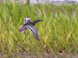 Garganey  (Male)   Scientific name - Anas querquedula   Habitat - Freshwater marshes and shallow lakes.   [1DM2 + Sigmonster (Sigma 300-800 DG)]