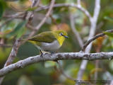 Mountain White-eye  Scientific name - Zosterops montanus  Habitat - All forest types above 1000 m.  [20D + 500 f4 L IS + Canon 1.4x TC]