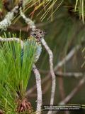 Mountain Verditer-Flycatcher (immature)  Scientific name - Eumyias panayensis  Habitat - Mountain forests above 800 m.  [20D + 500 f4 L IS + Canon 1.4x TC]