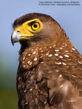 Serpent-Eagles