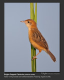 Cisticolas and Tailorbirds