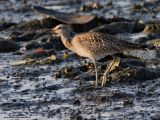 Whimbrel   Scientific name - Numenius phaeopus   Habitat - Along the coast in grassy marshes, mud and on exposed coral flats, beaches and sometimes in ricefields.   [20D + 500 f4 L IS + Canon 1.4x TC, hand held]
