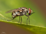 [40D + 100 2.8 USM macro + stacked EF12/25 (37 mm ET), near MFD, tripod/geared head, 1.5+ magnification, 76% of full frame, on-board flash at - 2 FEC]
