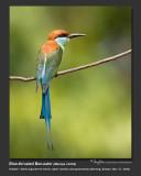 Blue-throated_Bee-eater-IMG_3699.jpg
