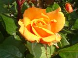 roses_from_london