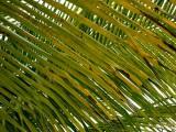 Negril Beach Palm