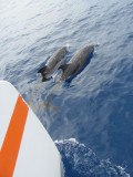 Dolphins Playing with our Catamaran