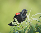 Red Winged Black Bird Singing