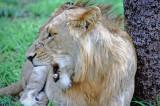 Lion Growl