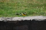 Bird 063 - Hada Apr 08.JPG