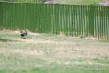Hoopoe landing - May 08.JPG