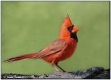 Cardinals, Passerins etc