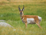 Antilope/Pronghorn