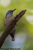 Algerian Nuthatch (male)_A8T0008.jpg