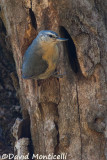 Algerian Nuthatch (female)_A8T0129.jpg