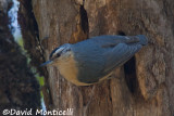 Algerian Nuthatch (male)_A8T0161.jpg
