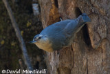 Algerian Nuthatch (female)_A8T0255.jpg