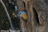 Algerian Nuthatch (female)_A8T0272.jpg