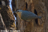 Algerian Nuthatch (male)_A8T0287.jpg