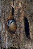 Algerian Nuthatch (female)_A8T0304.jpg