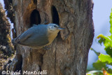 Algerian Nuthatch (female)_A8T0322.jpg