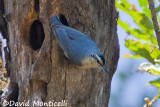 Algerian Nuthatch (male)_A8T0347.jpg