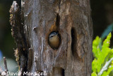 Female Algerian Nuthatch at nest (Tamentout Forest)_A8T0473.jpg