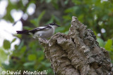Atlas Flycatcher nesting in a snag_A8T0475.jpg