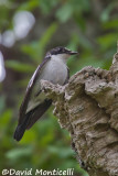 Atlas Flycatcher nesting in a snag_A8T0482.jpg